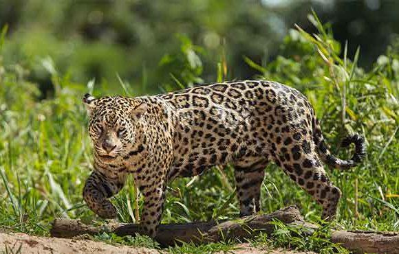 Jaguars of Pantanal – Brazil